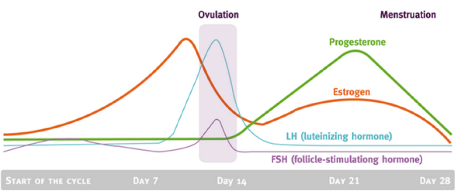 ovulation phase of menstrual cycle